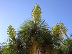 DIVAGAR SOBRE TUDO UM POUCO: Iuca – Yucca elephantipes
