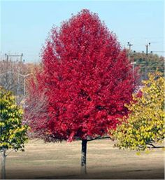 Black Tupelo - This tree's spectacular autumn foliage makes it a landscape favorite. Bird friendly, bee friendly, and requires very little care/maintenance! Trees And Shrubs, Trees To Plant, Bonsai, Tupelo Tree, Arbor Day Foundation, Baumgarten, Arbour Day, Shade Trees, Colorful Trees