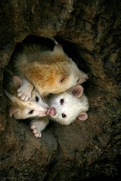 Family of Opossums in a tree