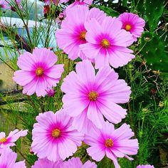 Cosmos Flowers, Annual Plants, Season Colors, Summer Colors, Stems, Breeze, Melbourne, Butterflies, Clouds