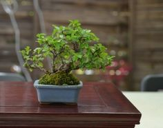 ulmus japonica 11,50 cms