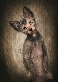 lykoi Some Top Unusual Cat Breeds on Earth, Werewolf cat Sphynx, Lykoi Cat, Werewolf Cat, National Geographic Animals, Animal Categories, Kitten Care, Kinds Of Cats, Feral Cats, Domestic Cat