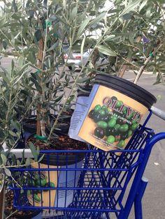 Gathering olive trees
