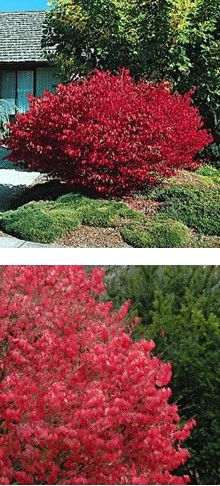 I really love the Burning Bush....so pretty in the fall.  Would love to get one of these too, but no room!