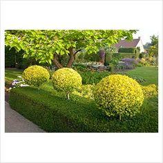 Golden lollipop topiaries in a yew hedge