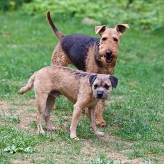 3-year-old Airedale Terrier, Juno, and 4-year-old Border Terrier, Griffin.  Photo courtesy of Bart Trawick.