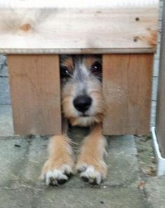 Sperry the Terrier Mix- who's there? Just lookin' under the fence.