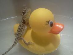 Babie bearded dragon using a rubber ducky as a float during bath time