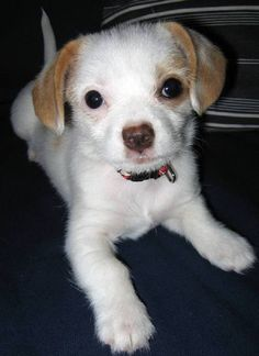 dachshund chihuahua mix puppies for sale   Zoe Fans Blog