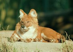 Asian red dog