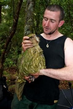 earth-song:    Kakapo recovery ranger Chris Birmingham with Rangi the male kakapo, last seen 21 years ago, who was discovered on Waitangi Day. Photo by DOC.  The Kakapo is a large, rotund parrot; the male measures up to 60cm(24in) and weighs from 2 to 4kg (4 to 9lb) at maturity.The Kakapo cannot fly, having short wings for its size and lacking the pronounced keel bone (sternum) that anchors the flight muscles of other birds. It uses its wings for balance, support, and to break its…