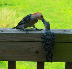 Woodpeckers kissing.