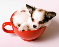 Teacup Chihuahua, who doesn't love the world's smallest dog? - everything you need to know about Chihuahuas and other toy dog breeds Teacup Chihuahua For Sale, Teacup Puppies, Chihuahua Love, Teacup Pomeranian, Little Dogs, Cute Baby Animals, Small Dogs, Dog Breeds, Animales