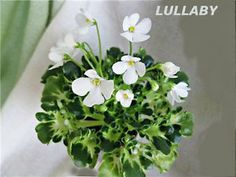 african violet lullaby - Google Search