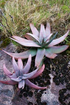 Aloe andringitrensis.