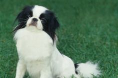 Japanese Chin or Japanese Spaniel Dog Dogs Puppy Puppies