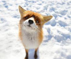 Foxy by Gabriel Ciora-Márkus on 500px