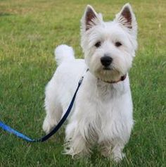 Darby is an adoptable West Highland White Terrier Westie Dog in Franklin, TN. Darby is a super little 1-1/2 year-old Westie boy surrendered to us ONLY because his mistress learned she was highly aller...