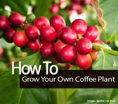 How To Grow Your Own Coffee Plant – Plant Care Today