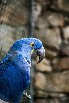 Arara azul by Melocotoncitaaa, via Flickr
