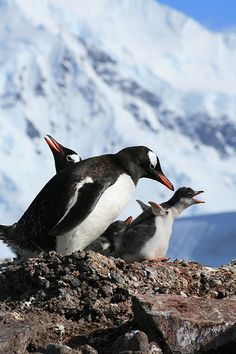 Let's make some noise! Penguin Bird, Penguin Love, Gentoo Penguin, Beautiful Birds, Animals Beautiful, Animals And Pets, Cute Animals, Penguins And Polar Bears, Emperor Penguin