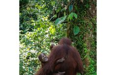 Catching a glimpse of protected orangutans helps families beat the heat in Malaysian Borneo