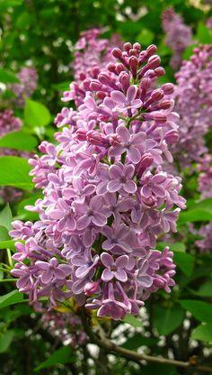 ~~Lilacs by Dorota.S - !~~