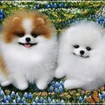 These amaziing Pomeranians !