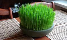 Grama de trigo - Cura pela Natureza