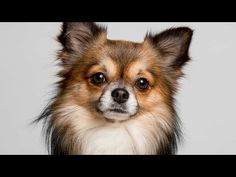 Types Of Chihuahuas Full Length Detailed 2019 Version Youtube Lap Dogs Chihuahua Dogs Dog Breeds
