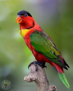 """yellow-bibbed-lory-(Lorius-chlorocercus)+(from+<a+href=""""http://birdingdiary.com/gallery/picture.php?/985/category/739"""">Gallery+-+Birding+Diary+Kamal+Hari+Menon</a>)"""