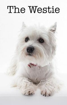 The Westie - A Guide To The West Highland White Terrier