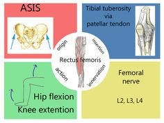 Rectus femoris muscle chart for physical therapy students