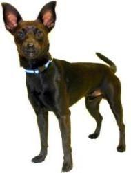 Oscar is an adoptable Miniature Pinscher Dog in Inverness, FL.  ...