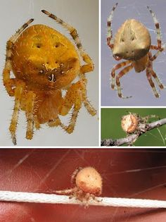 The Cat-Faced Spider (Araneus gemmoides) is an orb weaver spider found in the American west and Pacific northwest. Often found around houses in areas lit by artificial lighting at night, cat-faced spiders may look somewhat creepy but they're not poisonous.