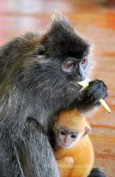 Golden Baby Macaque with mother. Taken in Labuk, Sabah Borneo. These babies turn black after a while.