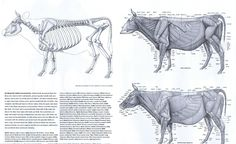 The archetypical beast of burden is the cow or the ox. We tend to think Ox = horns, but the features that define the burden carrier are in its shoulders and hips. Huge, tough, firm bands of fascia hold the hips of the cow together because the weight on them is so great. Large shoulder blades and elongated pelvic bones provide purchase for powerful muscles. Bones of the lower limb are fused for strength, sacrificing the ability to supinate, or turn the wrist as primates and cats do.