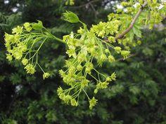 Inflorescència d'ACER PLATANOIDES (SAPINDÀCIES)
