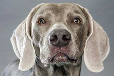 Right breed for you? Weimaraner information including personality, history, grooming, pictures, videos, how to find one and AKC standard.