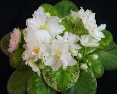 ma's arctic chill african violet - Google Search