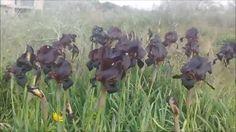 טיול יום כיף אל גבעת חומרה, אירוס הארגמן, A Winter Tour to Humra Hill near Palmachim, ISRAEL, Visiting the Blooming Purple Irises