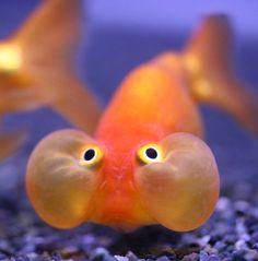 Celestial Eye Goldfish - Google 搜尋