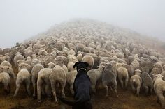 A shepherd tends to his flock.