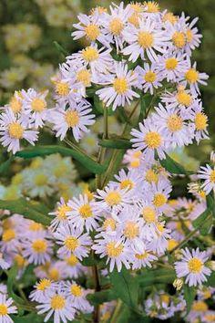Lavender Blue, Lavender Flowers, Purple Flowers, Clay Soil Plants, Purple Garden, Urban Setting, Aster, Native Plants, Daisy