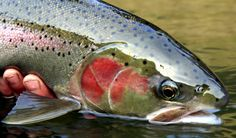 Steelhead. Two months away. I need to go fishing and leave the real world behind for a weekend.