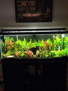 My planted 75 gallon. Saltwater Aquarium, Aquarium Fish Tank, Planted Aquarium, Freshwater Aquarium, Fish Tanks, Aquarium Snails, Nano Aquarium, Reef Aquarium, 75 Gallon Aquarium