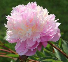 """worldloveflowers: """" #LoveFlowers Pivoine Sorbet #flowers #gardens #events http://ift.tt/2z0X6nM – http://ift.tt/1WIFzq5 """" CHEERFUL ! :)"""