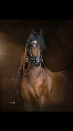 Beautiful portrait of bay Arabian stallion.