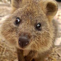 Happy Animals, Cute Animals, Quokka, Plein Air, Brown Bear, Pet Birds, Mammals, Kitten, Vegan Life