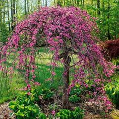 Nature Hills Nursery carries an elegant Lavender Twist Weeping Redbud. The weeping redbud has an umbrella-shape that is accentuated by the weeping and twisted branches. Order the weeping redbud tree from our exclusive online collection of plants now! Ornamental Trees, Redbud Tree, Plants, Shrubs, Judas Tree, Landscape Design, Garden Shrubs, Tree, Deciduous Trees